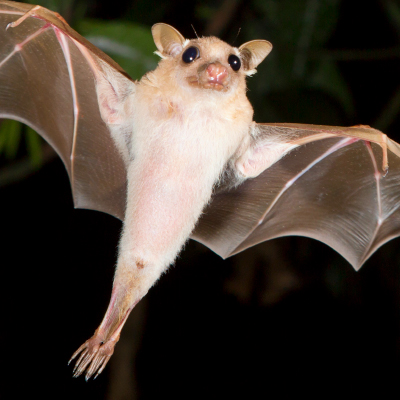 Fruit Bat Image