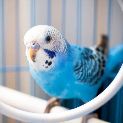 Pet Bird